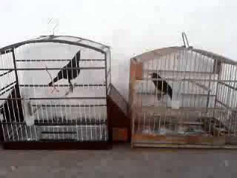 Pássaro Preto Tição Bom De Fibra ,Cantando Na Cara Do outro