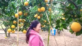 Thăm vườn bưởi Long Thu ở Xuân Mai-Hà Nội cực đẹp!