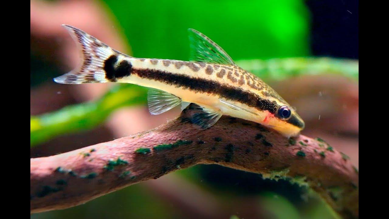 Oto Dwarf Suckermouth Catfish (Otocinclus) - YouTube