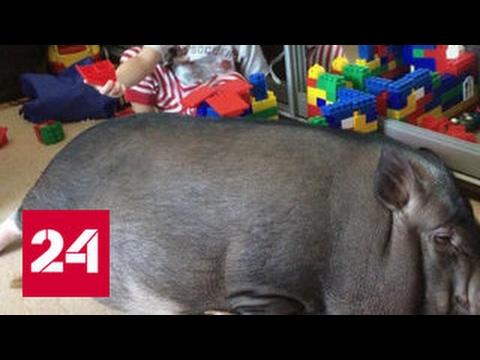Подложили свинью: фальшивые мини-пиги рушат семьи