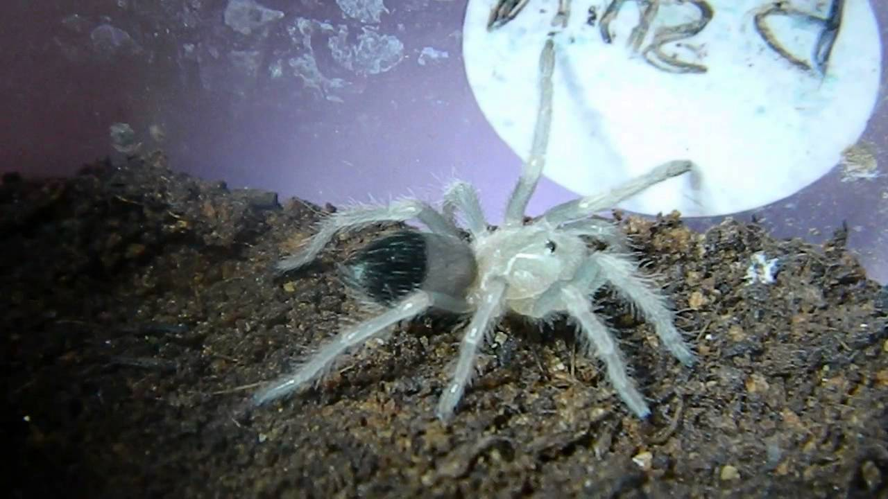 Tarantula Babies on Back Back to Back Baby Tarantula