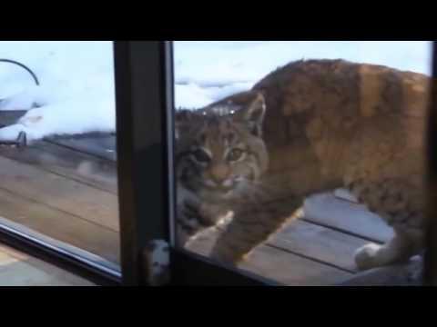 Рысь пришла в гости к коту  Кот в шоке