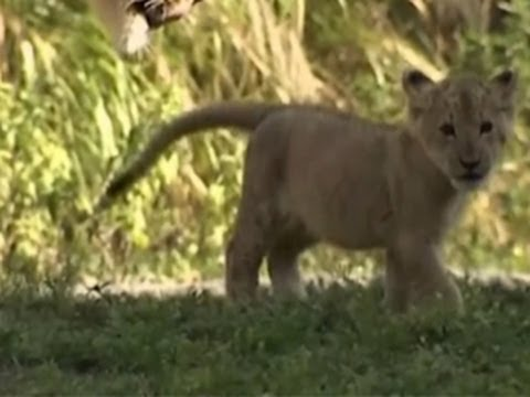 Zoo Miami introduces new lion cub