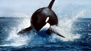 Call of the Killer Whale (Nature Documentary)