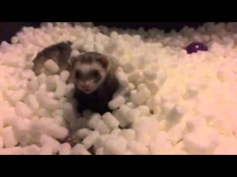 [Funny ferrets!!] Video