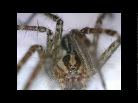 Ohio Wolf Spider - Venomous Spider Identification - Poisonous Spiders