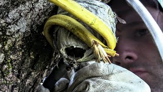 Bald Faced Hornet Nest Relocation Collaboration Wasp Hornet Queen YellowJacket