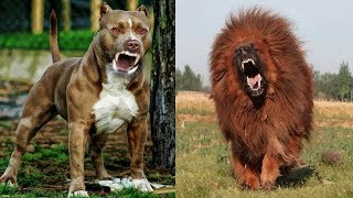 8 Races De Chien Plus Létales Qui Battent Le PitBull