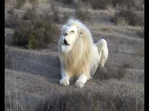 White Lion Roar video