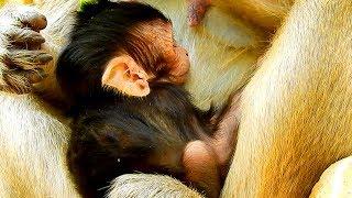 Very Pity Baby Figi Has No Power, Exhausted & Weak|#Monkey Nightmare