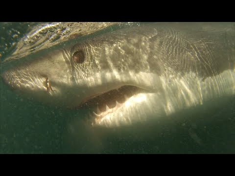 Great White Shark Attacks Boat Off The Coast Of Ocean City, MD