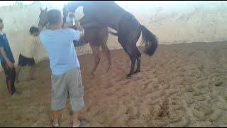 ผสมพันธุ์ม้า ไม่ทันไรเสร็จละ The horse sex {ฝึกม้าหนุ่ม}