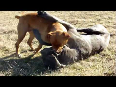 Pitbull Playfights Mastino Napoletano .MP4