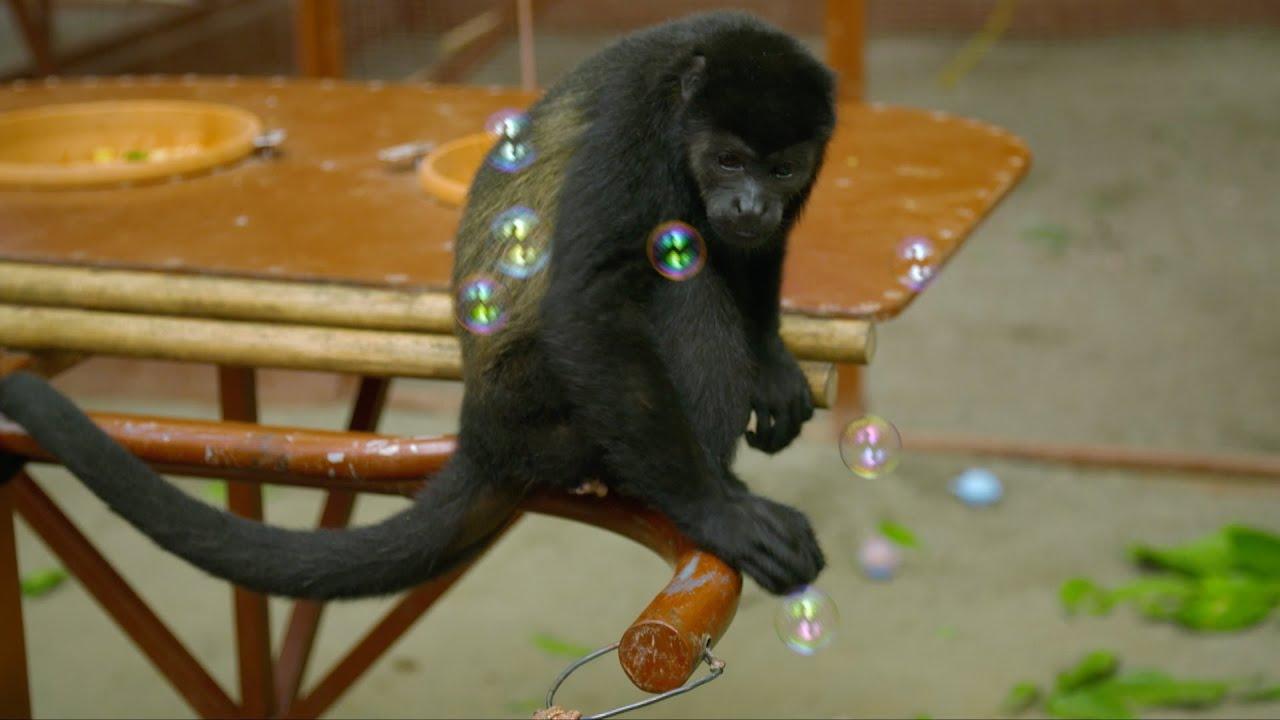 Monkeys bursting bubbles - Nature's Miracle Orphans: Series 2 Episode 3 - BBC One