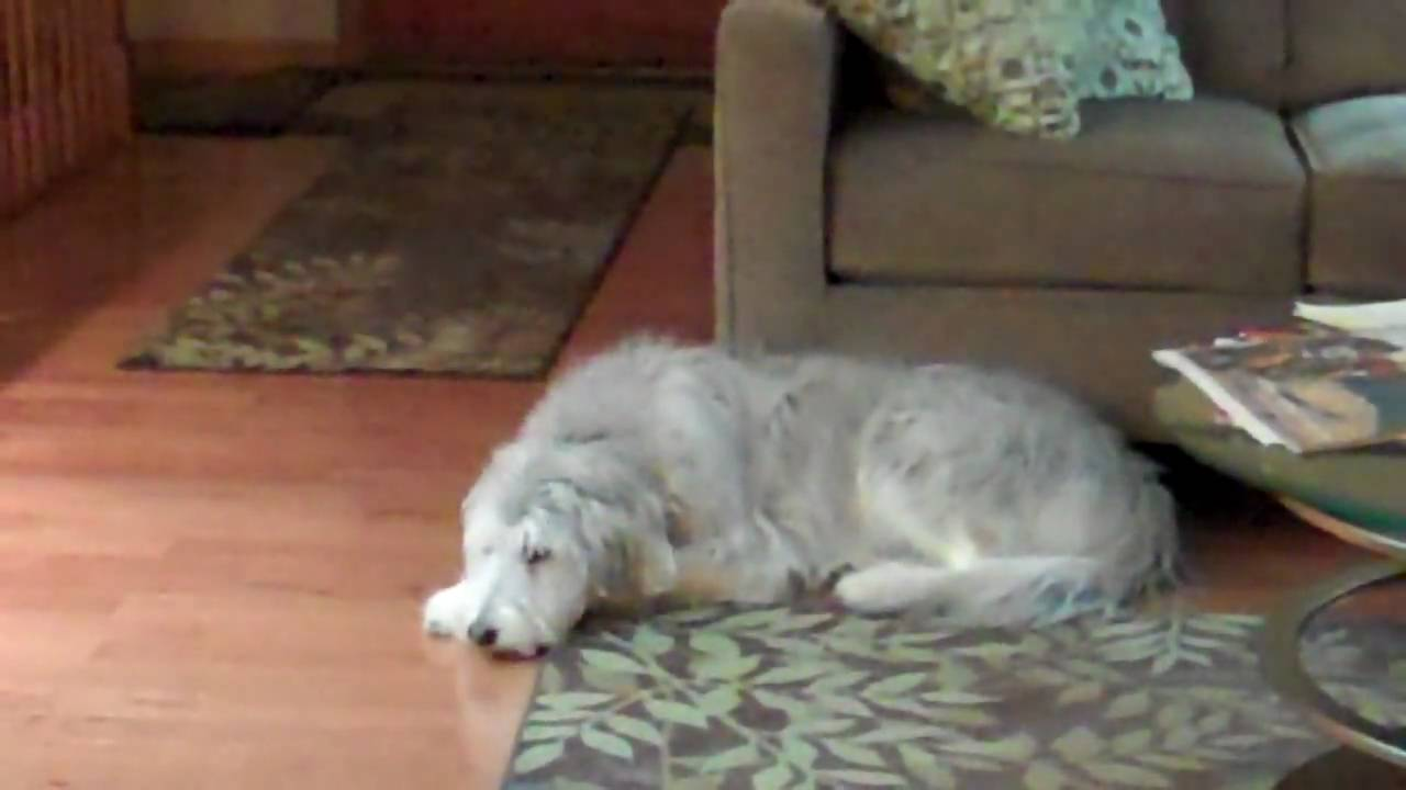 Lily The Husky Poodle Sings Youtube