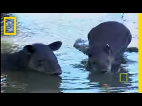 What in the World is a Tapir?