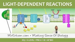 Photosynthesis - Light-dependent Stage - Post 16 Biology (A Level, Pre-U, IB, AP Bio)