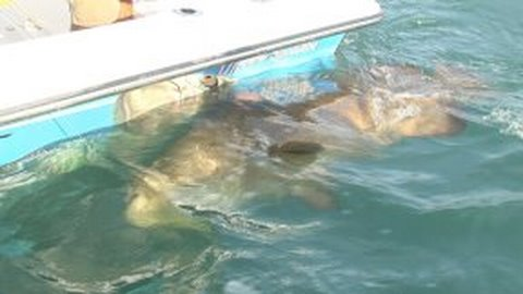 Fort Myers Goliath Grouper Charters. Huge Fish! Chew On This!