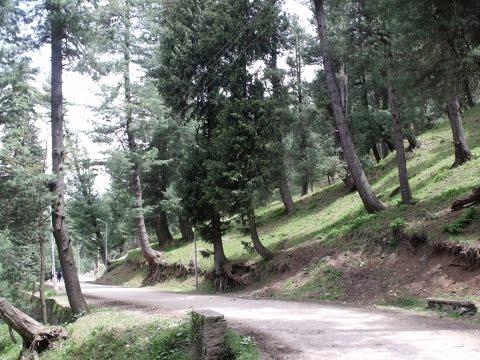 Walking Through Pine Woods At Pahalgam Circuit Road, Kashmir, India HD Video