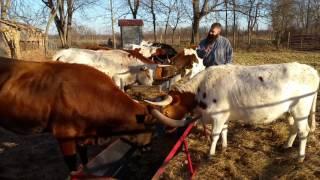 Feeding the longhorns