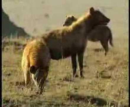 Lions kill hyena