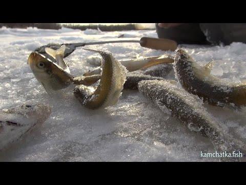 видео ловли корюшки в приморском крае