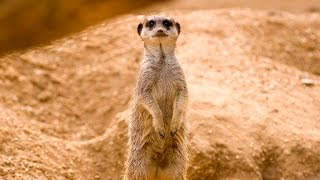 Funny Meerkats in Meerkat Manor