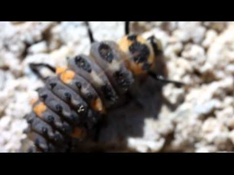 This is an extreme macro video of a ladybug larva taken with a Canon Mark 5D II camera and MP-E 65mm