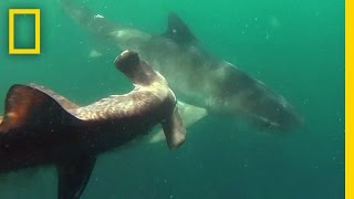 Tiger Shark vs. Hammerhead Shark | National Geographic
