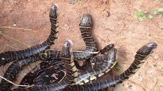 Amazing Man Catch Water Snake Using The Trap-How to Water Snake in Cambodia-How to make a snake trap