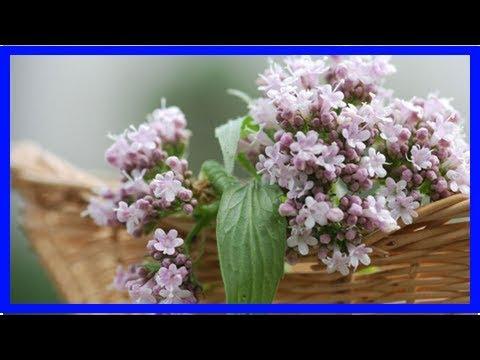 Mittel gegen Stress: Diese Heilpflanzen können helfen