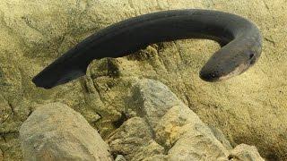 How electric eels tase their prey | Science News