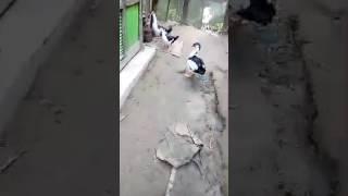 চিনা হাসঁ দেখুন কত সুনদর