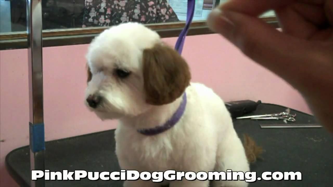 Dog Getting Haircut Dog Grooming Maltipoo Ryu Gets