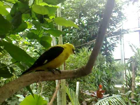Golden Oriole and Bearded Barbet in Warsaw zoo jungle Video