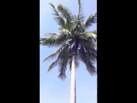 ปีนต้นมะพร้าว Climb a coconut tree