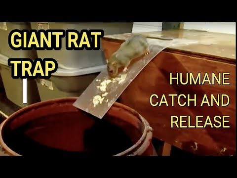 DIY Humane Mousetrap Green Rat Trap for capture and release Rat Eats Moth