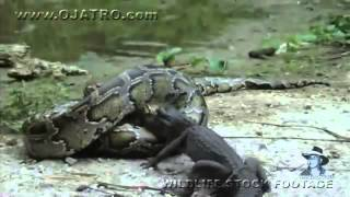 Python eats Alligator 02, Time Lapse Speed x6   YouTube