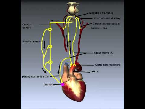 Cardiovascular System: Control of Heart Rate