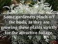 Facts about Dusty Miller Plants