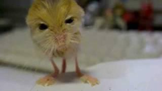 Thumb Jerbo Pigmeo Egipcio parece un canario roedor