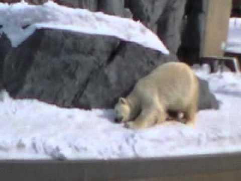 2009年3月9日 旭山動物園 ホッキョクグマ コユキ