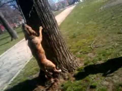 TIGER PITBULL LOCKJAW ON TREE Video