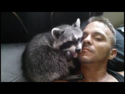Топ 5 лучшие видео с енотами. Как играть с енотом. How to play with raccoon.