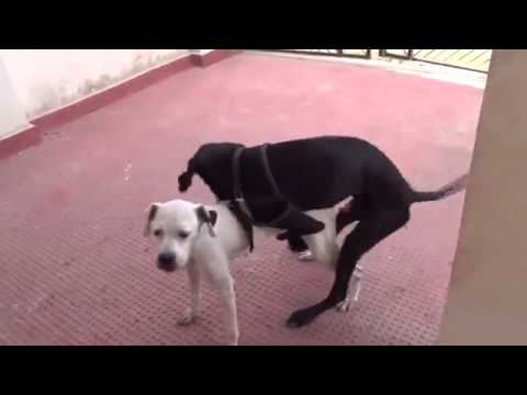 Boxer and Great Dane Breed Dog Mating Video Very Funny