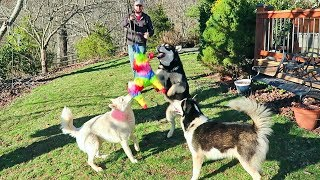 Husky and Malamute Play Pinata Game for the First Time!