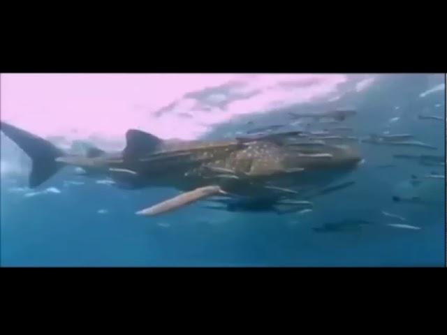 Livramentos da Graça - Tubarão baleia