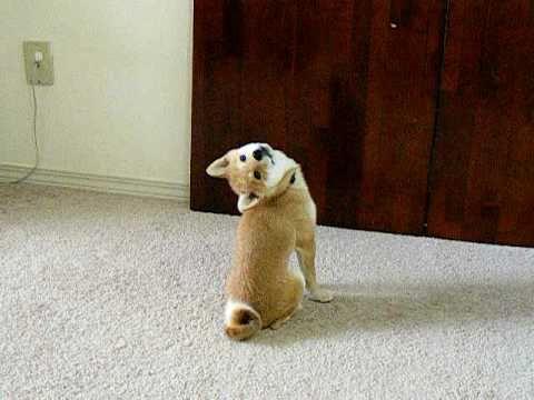 首の柔らかさを披露?!頭を後ろに倒す犬