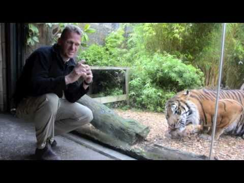 Sumatran tiger, Oz, climbs a pole to get some meat!
