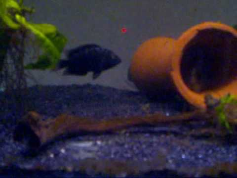 Electric Blue Jack Dempsey & Female JD Spawn - One week observation